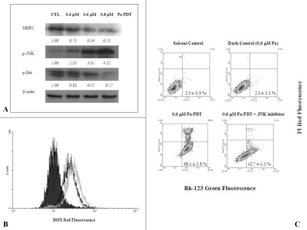 Pa-PDT inhibits p-glycoprotein mediated MDR in R-HepG2 cells . (A) Differential expression of MDR proteins in Pa-PDT treated R-HepG2 cells. Cells (3 × 10 6 ) were treated with Pa alone (0.4 μM Pa without PDT) or (0.4 μM, 0.6 μM, or 0.8 μM) Pa for 2 h and then with light illumination (84 J/cm 2 ) for 20 min. Cells were collected at 2 h after PDT treatment, then cell lysates were analyzed using Western blotting. The protein expression levels were semi-quantified and shown as relative intensities normalized with the band intensity of the housekeeping β-actin in each sample. Representative results from a single experiment are shown from 5 independent experiments. (B) For the intracellular accumulation of Dox, cells (4 × 10 5 /well) were treated with 0.04% ethanol (CTL, black solid), 0.6 μM (black line) and 0.8 μM (gray line) of Pa-PDT, and then the culture medium was changed to 4 μM Dox and further incubated for 2 h at 37°C, 5% CO2. The cells were collected and the intensity of Dox fluorescence was measured by a flow cytometer. (C) For detection of P-glycoprotein activity, R-HepG2 cells (1 × 10 4 /well) were pre-incubated with 0.04% ethanol (solvent control), 0.6 μM Pa (dark control), 0.6 μM Pa-PDT, or 0.6 μM Pa-PDT with 0.5 μM JNK inhibitor in a 6-well plate for 2 h and then the samples were illuminated with PDT. The treated cells were stained with 10 μM Rh-123 for 2 h at 37°C, 5% CO2 and then incubated with 5 μg/ml PI for further 15 min at room temperature. The cells were collected and analyzed by a flow cytometer, where the lower right quadrant (Rh-123 positive and PI negative) represents the cells that have intact plasma membrane but with down-regulated P-glycoprotein activity. The figure is a representative of 5 experiments and the results shown as mean ± SD.