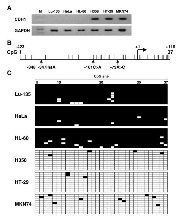 Inverse association between CDH1 promoter methylation level and CDH1 mRNA expression level in human cell lines . (A) Detection of the CDH1 mRNA transcripts in 6 human cell lines by reverse transcription (RT)-polymerase chain reaction (PCR) analysis. mRNA transcripts of the GAPDH , a housekeeping gene, were also amplified as an internal control. M, 100-bp DNA ladder. (B) Map of the CpG sites in the CDH1 promoter. The positions of the CpG sites are indicated by vertical lines. Vertical arrows indicate the location of the -348_-347insA, -161C > A, and -73A > C genetic polymorphisms. +1, transcription start site. (C) Determination of the methylation status of the CpG sites in the CDH1 promoter in 6 human cell lines by bisulfite sequencing analysis. Ten subcloned promoter fragments were sequenced in each cell line. Each horizontal row represents a single allele. The positions of the CpG sites are numbered at the top of the column. Methylated CpG sites are shown as black boxes and unmethylated CpG sites as white boxes.