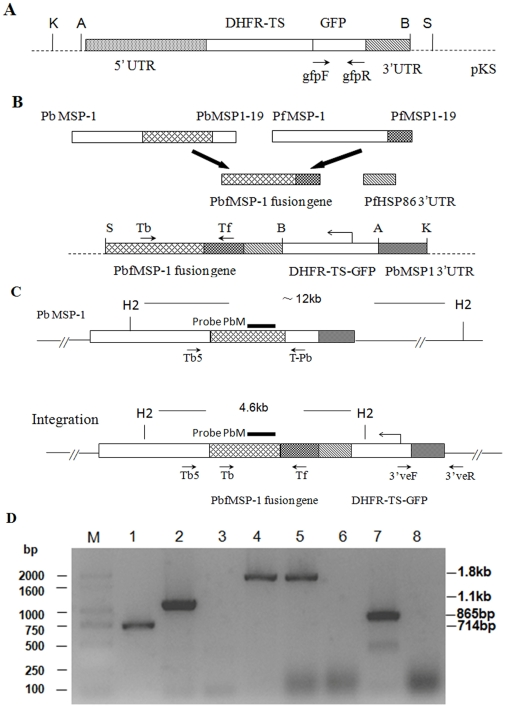 Generation of mutant P. berghei parasites and PCR analysis. Organizational maps of plasmid PyrFlu (A), the construction strategy of recombinant vector PyrFlu/PbfMSP-1/ PbM3′ (B), the gene map following the homologous integration of plasmid PyrFlu/PbfMSP-1/ PbM3′ at the MSP1 locus (C). Genomic DNA of PfMSP1-19Pb 8.7 clone (lanes 1–4 and 7) and wild-type P. berghei ANKA (lanes 5–6 and 8) were used as template; Test primers are indicated by arrows. lane 1: amplification of gfp with the primers gfp F/ gfp R; lane 2: verification of transfection using primers Tb/Tf; lanes 3 and 5: verification of the wild-type PbMSP-1 locus with the primers Tb5/T-Pb; lanes 4 and 6: verification of the predicted 5′ integration into the PbMSP-1 locus with the primers Tb5/Tf; lanes 7 and 8: verification of the predicted 3′ integration into the PbMSP-1 locus with the primers 3′veF/3′veR; M: base pair ladder (D). Probe PbM for Southern analysis was shown as black bar. The expected sizes of fragments resulting from digestion with HincII are shown. S ( Sac I), B ( BamH I), A ( Apa I), K ( Kpn I) and H2( HincII ).