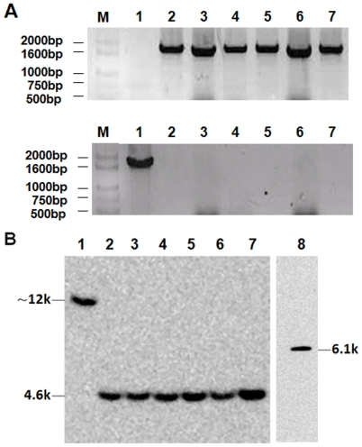 PCR and Southern analysis of the stability of the integrated locus in PfMSP1-19Pb8.7 clones. Genomic DNA was extracted from transgenic parasites at various times with wild type parasites as control. The primer pair of Tb5/Tf (upper line) was used to detect the integrated fragment in the transgenic parasite, while the primer pair of Tb5/T-Pb (lower line) was used to amplify the native sequence of PbMSP1 in the wild-type parasites used as controls (A). Ten micrograms of genomic DNA of wild type and transgenic P. berghei parasites collected at different times was digested with HincII and hybridized to probe PbM while the HincII-digested transfection plasmid served as positive control (B). M: base pair ladder; lane 1: the genomic DNA of wild type parasites; lanes 2–7: the genomic DNA of PfMSP1-19Pb 8.7 clone that was extracted at various times (days 0,7,14,21,28 and 35); lane 8: the DNA of transfection plasmid digested by HincII.