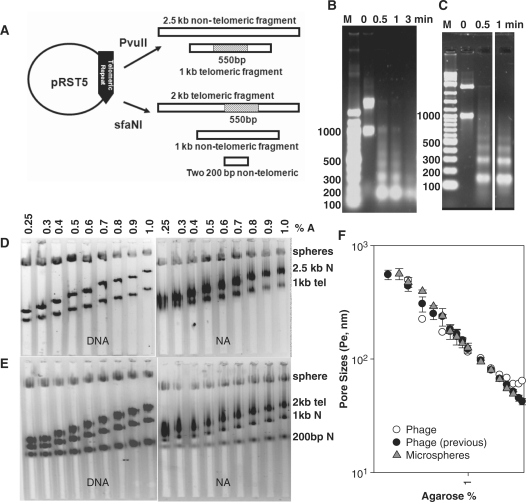 Analysis of nucleosomal array fibers. The pRST5 plasmid and expected fragments created by PvuII or SfaNI digestion ( A ). Micrococcal nuclease digestion at indicated time points of nucleosomal arrays reconstituted onto PvuII ( B ); SfaNI ( C ) digested pRST5 DNA. Multi-gels of telomeric nucleosomal array fibers (NA) and histone-free DNA (DNA) from pRST5 digested with PvuII ( D ); and SfaNI ( E ) prepared and subjected to electrophoresis according to 'Materials and Methods' section. Spheres refer to carboxylate-coated microsphere standards (35 nm radius). The '1 kb tel' and '2 kb tel' refer to the telomeric fragments liberated by PvuII and SfaNI digestion respectively. 'N' refers to the fragments without telomeric DNA. Logarithmic plot of pore sizes ( P e ) versus agarose% ( F ). Data was obtained from multi-gels run with bacteriophage T3 (Phage) in this laboratory or previous work [Phage, previous, ( 24 )] and 35 nm carboxylate-coated microspheres (Microspheres). P e for each agarose concentration was calculated according to 'Materials and Methods'. Symbols with error bars represent the mean ± 1 SD of four to eight determinations.
