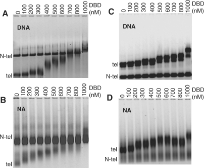 TRF2 DBD binds specifically to telomeric DNA and nucleosomal arrays. 0.6% agarose gels of TRF2 DBD binding to DNA (DNA) ( A ) and nucleosomal arrays (NA) ( B ) from the pRST5 fragment digested to obtain a 1-kb DNA fragment with 580-bp telomeric DNA (telo) and 2.5-kb non-telomeric DNA (N-telo). Gels similar to (A) and (B), respectively except the pRST5 was digested to obtain a 2-kb fragment containing the 580-bp telomeric DNA (telo) with a 1 kb and smaller fragments being non-telomeric (N-telo) ( C and D ).