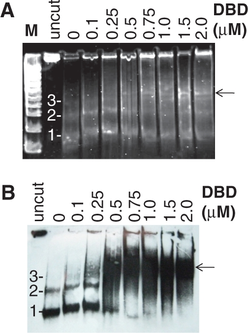TRF2 DBD-dependent changes in micrococcal nuclease digestion. Nucleosomal arrays (12.5 ng/ul) were incubated with indicated amounts of TRF2 DBD and digested with micrococcal nuclease according to 'Materials and Methods' section. Deproteinated samples were electrophoresed on a 12% native polyacrylamide gel and stained with SYBR Green ( A ) followed by transfer to a membrane and blotting with a biotin-d(TTAGGG) 7 probe ( B ) as described in the 'Material and methods' section. M refers to 100-bp ladder. The 1-, 2-, 3- to the left of the gel panels refer to mono-, di- and trinucleosomes, respectively.
