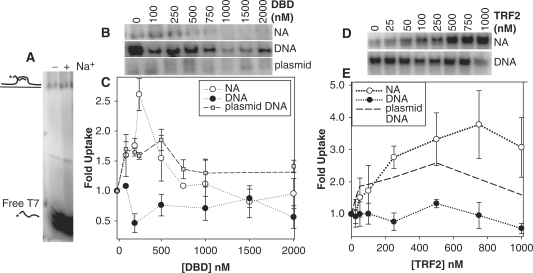 The effect of full-length TRF2 and TRF2 DBD on the uptake of a 5′-[ 32 P]-labeled, single-stranded oligonucleotide, (dTTAGGG) 7 (T7), into nucleosomal arrays and DNA (20 ng/μl). Samples were incubated with indicated amounts of full-length TRF2 or TRF2 DBD and processed according to 'Materials and Methods'. Uptake by nucleosomal arrays with samples incubated – or + 100 mM NaCl ( A ). The drawings on the side of the agarose gel refer to radiolabeled (*) T7 oligonucleotide either free or inserted into the nucleosomal arrays. A section of agarose gels showing T7 inserted into nucleosomal arrays ( top panel ), linear DNA ( middle panel ) and plasmid DNA ( bottom panel ) with increasing TRF2 DBD ( B ). Quantitation of (B) where uptake was normalized to 0 nM TRF2 DBD ( C ). Error bars are 1 SD of the mean of 3–5 determinations. Full-length TRF2-dependent uptake by nucleosomal arrays ( top panel ), linear DNA ( bottom panel ) ( D ). Quantitation of (D) where uptake was normalized to 0 nM TRF2 ( E ). The dashed line refers to uptake by supercoiled pRST5 from previous work ( 41 ). Error bars are 1 SD of the mean of three to four determinations.