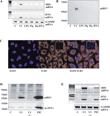 Activation by U1-snRNA is unlikely mediated by TLR4, TLR5, TLR7/8 and PKR. (A and B) A549 cells were either kept as mock-transfected control or were stimulated with U1-snRNA (0.1 µg/ml). Where indicated, cells were stimulated with LPS (10 µg/ml), flagellin (Flg) (100 ng/ml), resiquimod (Rq) (10 µg/ml), or total eukaryotic RNA (0.1 µg/ml) by using the U1-snRNA transfection protocol. After 24 h ( A ) and 4 h ( B ), expression of IDO and IFN-β mRNA was analyzed by RT-PCR (A) and cellular pIRF3 content was determined by immunoblot analysis (B), respectively. For each experimental setup, one representative of three independently performed experiments is shown. ( C ) TLR3 expression by mock-transfected A549 cells was analyzed immunohistochemically using confocal microscopy (TLR3/Cy3; nuclei/DAPI). Insets, negative controls where immunohistochemistry was performed in the absence of the primary antibody. (DE) A549 cells were either kept as mock-transfected control or stimulated by transfection with U1-snRNA (0.1 µg/ml), U1 ctr (0.003 µg/ml), or poly(I:C) (0.1 µg/ml). ( D ) After 4 h, cellular content of pIRF3 and p-eIF2α was determined by immunoblot analysis. For that purpose the blot was cut in half. ( E ) After 24 h, expression of IDO and IFN-β mRNA was analyzed by RT-PCR. (D and E) One representative of three independently performed experiments is shown for each experimental setup.
