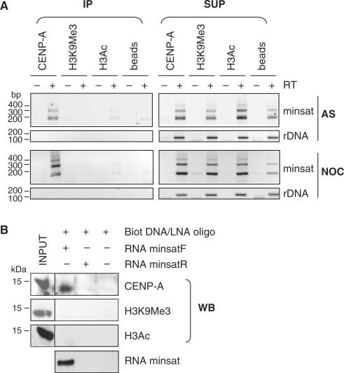 Minor satellite RNA associate with CENP-A-containing chromatin. ( A ) RNA NChIP from nuclear extracts of asynchronously growing (AS) or nocodazole-arrested (NOC) MEL cells using antibodies against CENP-A, H3K9Me3 or H3Ac. Following DNaseI digestion, minor satellite RNA (minsat) and rDNA transcripts (rDNA) were analysed by RT-PCR, from the immunoprecipitated (IP) or supernatant fractions (SUP), in reactions containing (+) or not (−) RT. Control reactions in the absence of immunoprecipitating antibody (beads) were used as a negative control. ( B ) RNA pull-down experiments using in vitro transcribed minor satellite RNA (minsatF), followed by western blot (WB) analysis with the indicated antibodies. As a control, a similar experiment was performed with in vitro transcribed minor satellite RNA from the reverse strand (minsatR), therefore not complementary to the biotinylated DNA/LNA oligonucleotide used, or in the absence of RNA.