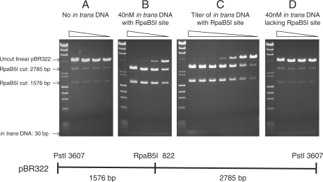 Cleavage of a single site substrate is incomplete but can be stimulated by in trans DNA containing a specific recognition site. ( A ) No in trans DNA. RpaB5I digestion in a 2-fold serial dilution from 2 units/µg DNA to 0.25 units/µg DNA on pBR322 DNA previously linearized by digestion with PstI. ( B ) Forty nanomolar in trans DNA containing an RpaB5I recognition site. The same reaction conditions as (A) supplemented with 40 nM of a 30 bp in trans DNA containing the RpaB5I recognition site. ( C ) 2-fold dilution series of the in trans DNA containing the RpaB5I recognition site, from 40 nM to 0.625 nM, in reactions containing two units RpaB5I and 1 µg PstI-linearized pBR322 per 50 µl reaction (7 nM RpaB5I sites). ( D ) The same reaction conditions as (A) supplemented with 40 nM of a 30 bp in trans DNA lacking the RpaB5I recognition site.