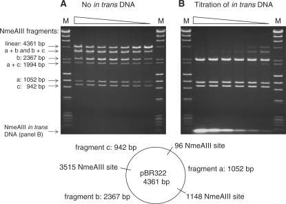 Cleavage of a multiple site substrate by NmeAIII. ( A ) 2-fold serial dilution series of NmeAIII digestion of pBR322 DNA (three NmeAIII sites), from 32 units per 50 µl reaction to 0.5 units per 50 µl reaction. ( B ) 2-fold dilution series of an in trans DNA containing the NmeAIII recognition site, from 640 nM to 20 nM, in reactions containing 16 units NmeAIII and 1 µg pBR322 per 50 µl reaction (21 nM NmeAIIII sites).