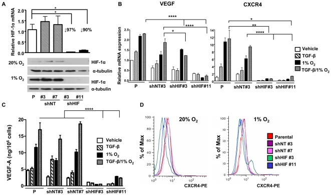 Knockdown of HIF-1α inhibits VEGF and CXCR4 mRNA and protein expression in vitro . (A) MDA-MB-231 parental cells (P) or cells transfected with a pLKO.1 vector expressing a non-target shRNA (shNT#3 and #7) or an shRNA against HIF-1α (shHIF#3 and #11) were cultured ± 1% O 2 during 6 h. Total RNA was extracted and mean ± SEM expression of HIF-1α was measured using semi-quantitative RT-PCR (n = 3). Proteins were extracted from treated cells and HIF-1α level was assayed by Western-blotting, α-tubulin was used as loading control. * P