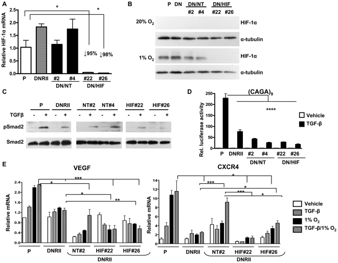 HIF-1α knockdown and TGF-β blockade decreases VEGF and CXCR4 mRNA expression in vitro . (A) MDA-MB-231 dominant-negative TβRII expressing cells (DNRII) were transfected with a pLKO.1 vector expressing a non-target shRNA (DNRII/shNT#2 and #4) or an shRNA against HIF-1α (DNRII/shHIF#22 and #26) were cultured ± 1% O 2 during 6 h. Total RNA was extracted and mean ± SEM expression of HIF-1α was measured using semi-quantitative RT-PCR (n = 3). * P