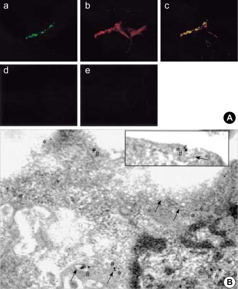 Confocal and electron microscopy of rat chondrocytes immuno-cytochemically stained with COX-2 and caveolin <t>antibodies.</t> Cells were double stained with fluorescein isothiocyanate- and <t>Texas</t> <t>Red-conjugated</t> <t>secondary</t> antibodies after an initial treatment with either Cav-3 or COX-2 antibodies separately and then examined under a confocal microscope at their respective wavelengths. For each experiment, a least 50 cells were examined and the presented images represent typical staining pattern for the majority of examined cells. a, Cav-3; b, COX-2; c, merged image of a and b; d and e; stained only with secondary antibodies without the prior treatment of either Cav-3 or COX-2 antibodies ( A ). Cells were double stained with different size of gold particle-conjugated secondary antibodies after an initial treatment with either Cav-3 or COX-2 antibodies separately and then examined under an electron microscope. Arrow showed structure of caveolae. # and * represented COX-2 (15 nm particles) and Cav-3 (10 nm particles), respectively.