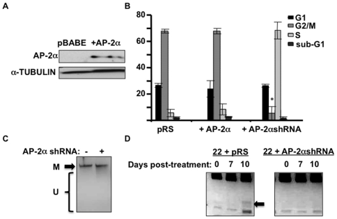 "Decreased AP-2α expression reduces proliferation; and AP-2α is required for target remethylation following demethylation. a) AP-2α western blot analysis of SCC22B cells with AP-2α overexpression. b) Cell cycle analysis via flow cytometry comparing WT, AP-2α-overexpressing, and AP-2α-downregulated SCC22B cells. * P-value = 0.0003. c) Methylation sensitive HhaI digests were performed on DNAs from SCC22B cells with and without AP-2α downregulation, revealing no distinguishable difference in global DNA methylation. ""M"" = methylated; ""U"" = unmethylated. d) 1 µM 5-aza-2′deoxycytidine was applied to the cells for 96 hours, changing the media daily. After 96 hours, the 5-aza-2′deoxycytidine was removed and the cells were continued in culture for 10 days, collecting cells at 0, 7, and 10 days post-treatment. Combined bisulfite restriction analysis on bisulfite-treated DNA obtained from these cells at 0, 7, and 10 days. Increased methylation at 10 days is seen in the AP-2α-expressing cells (i.e. the digested band indicated by the arrow)."