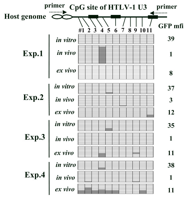 CpG methylation of the enhancer/promoter region of provirus DNA in EL4-Gax cells . Top: locations of CpG sites (#1–11) in the HTLV-1 U3 region studied in this experiment. The sense primer is complementary to the mouse genomic sequence flanking the 5'-LTR of provirus at the integration site, and the anti-sense primer is complementary to the junction sequence between the HTLV-1 and MLV U3 regions. The three 21 -bp enhancer sequences are indicated as boxes. Bottom: results of bisulfite genomic sequencing analysis of four independent experiments. Methylated and unmethylated CpG sites are expressed as filled and open rectangles, respectively. Amplified PCR products were subcloned into pGEM-T vector, and the nucleotide sequences of at least 13 clones were determined. GFP mfi: the GFP mean fluorescent intensity of EL4-Gax cells used for bisulfite genomic sequencing analysis.