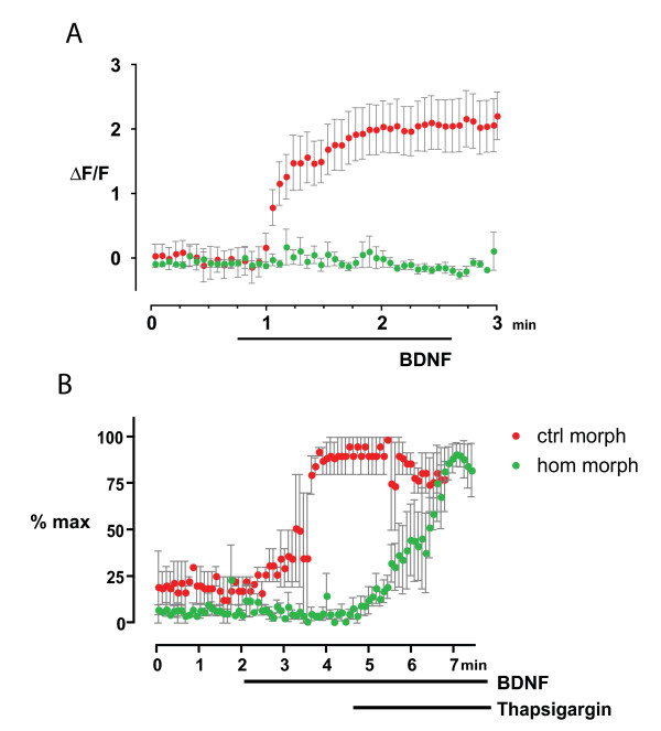Homer1 knockdown perturbs dorsal root ganglia growth cone calcium dynamics . (A) Control (closed red circles) morphant growth cones (n = 9) exposed to a brain derived neurotrophic factor (BDNF) micro-gradient show significantly more calcium flux than Homer1 (closed green circles) morphant growth cones (n = 16). (B) Bath application of thapsigargin 2 minutes after establishment of a BDNF micro-gradient elicited a robust rise in intracellular calcium in Homer morphants (hom morph) but failed to elicit any rise in calcium in control morphants (ctrl morph). Error bars indicate standard error of the mean.