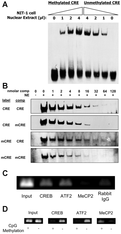 Effect of methylation on transcription factor binding to the Ins2 promoter. (A) Increasing amounts of NIT-1 nuclear extract was bound to methylated or unmethylated mouse Ins2 promoter CRE oligonucleotide in an Electrophoretic Mobility Shift Assay (EMSA). There was a dose-dependent increase in binding to both the methylated and unmethylated CRE with increasing amounts of NIT-1 cell nuclear extract. (B) The binding of NIT-1 nuclear proteins to one nanomolar of either labeled methylated (mCRE) or unmethylated (CRE) was competed with increasing concentrations of unlabeled CRE or mCRE. The figure is one representative of four experiments. (C) Chromatin immunoprecipitation (ChIP) analysis of the endogenous mouse Ins2 gene promoter in NIT-1 cells. Genomic DNA was immunoprecipitated with anti-CREB, anti-ATF2, anti-MECP2, and control IgG. The results indicate that CREB and ATF2, but not MeCP2, are normally associated with the endogenous insulin promoter. (D) Methylated or mock-methylated pGL4.10 Ins2 500bp ( Fig. 2A ) was transfected into NIT-1 cells and then ChIP was carried out with anti-CREB, anti-ATF2, and anti-MeCP2 antibodies. Methylation of the Ins2 promoter decreases the binding of CREB and ATF2, but increases the binding of MeCP2.