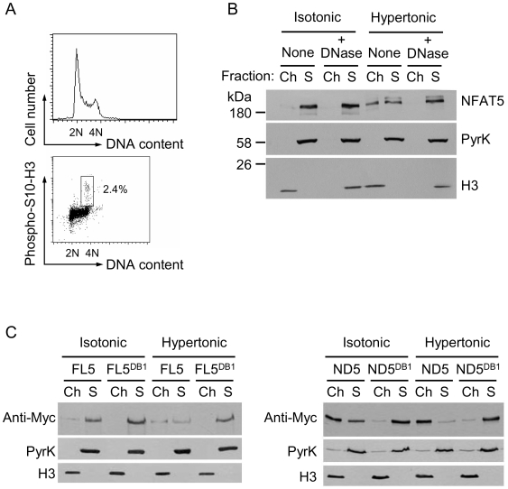 Constitutive binding to interphase chromatin of an NFAT5a mutant lacking the CTD. (A) Flow cytometry analysis of the cell cycle profile ( left histogram ) and proportion of interphase and mitotic cells ( dot plot ) in asynchronous HEK293 cultures. (B) HEK293 cells cultured in isotonic medium (310 mOsm/kg) or exposed to hypertonic conditions (470 mOsm/kg) during 4 hours were lysed and proteins were fractionated into soluble (S) or chromatin (Ch) fractions. One set of samples was treated with DNase I during lysis, which caused the release of chromatin-associated proteins to the soluble fraction. NFAT5 and markers of soluble (pyruvate kinase) and chromatin-associated proteins (histone H3) were detected by Western blotting. (C) HEK293 cells expressing Myc-tagged full length NFAT5a (FL5), a DNA-binding mutant (FL5 DB1 ), or a construct comprising the amino-terminal region plus DNA-binding domain (ND5) (diagram in Figure 1B ) and its DNA-binding mutant (ND5 DB1 ) were cultured in isotonic medium (290 mOsm/kg) or exposed to hypertonic conditions (470 mOsm/kg) during 4 hours, lysed, and proteins were fractionated into soluble (S) or chromatin (Ch) fractions. NFAT5 constructs were detected by Western blotting with an anti-Myc antibody. Results shown are representative of four independent experiments.