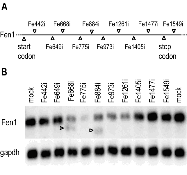 (A) Graphical representation of Fen1 mRNA and the siRNA positions. (B) Screening of 10 siRNAs against Fen1 at 12 hr post-transfection by northern blot assay. Upper panel: Fen1 target mRNA. Lower panel: GAPDH loading control.