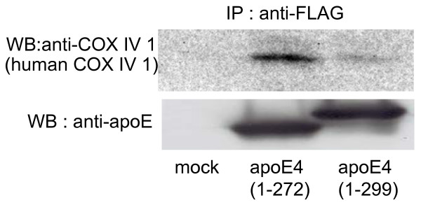 ApoE4 interacts with the subunits of mitochondrial respiratory complex IV in Neuro2a cells . Neuro2a cells were co-transfected with FLAG-apoE4 (1–272 or 1–299) plasmids and mammalian expression plasmids encoding the candidate apoE4-associated proteins. The cells were treated with 500 μl of Triton X-100 solubilization buffer and the cell lysate was incubated with anti-FLAG M2-agarose affinity resin. The immunoprecipitates were then analyzed by western blotting with an anti-COX IV 1 antibody (human COX IV 1).