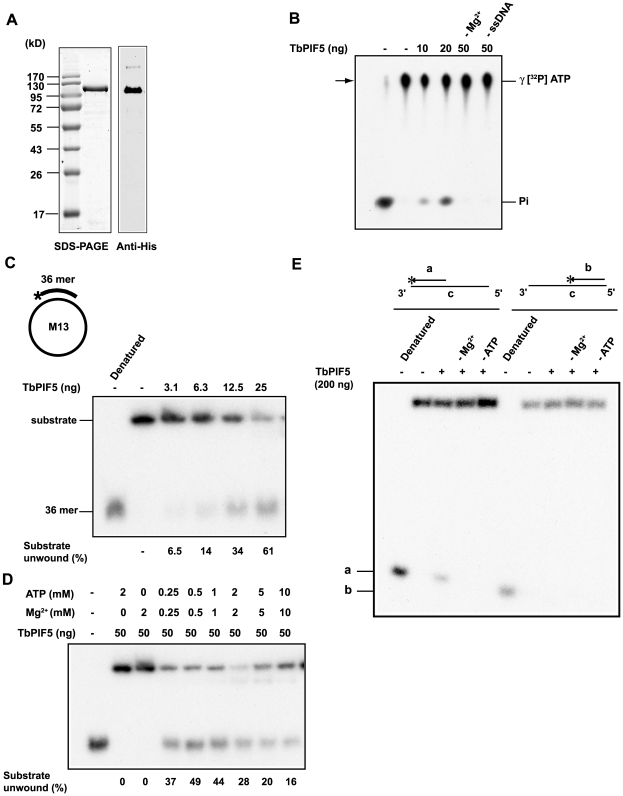 ATPase and helicase assays of recombinant TbPIF5. (A) Coomassie-stained SDS-PAGE gel and Western blot of purified recombinant TbPIF5. (B) Assay of TbPIF5 ATPase activity. The substrates and products were separated by <t>polyethyleneimine</t> thin layer chromatography; arrow shows origin. The [ 32 P]Pi standard in the left-hand lane was prepared from [γ- 32 P] ATP by boiling 5 min in 1 M HCl. (C) Assay of TbPIF5 helicase activity. Substrates and products were separated by 12% polyacrylamide gel electrophoresis. (D) Helicase activity was measured at various concentrations of Mg ++ -ATP. (E) Assay of polarity of TbPIF5 helicase activity. Helicase substrates are diagrammed in Panels C (strand lengths are not to scale) and E (strand lengths for oligonucleotides a, b and c are 21, 21 and 90 nucleotides). * indicates 5′ 32 P end label.