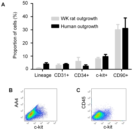 Flow cytometric analysis of the first outgrowth collection from cardiac tissue. (A) A comparison of the proportion of the initial human and WK rat outgrowth cells expressing markers of CPC (c-Kit), endothelial (CD31, CD34) and mesenchymal (CD90) origin. (B) Flow cytometry dot plot of the initial cellular outgrowth harvested from WK rat tissue demonstrating co-segregation of mast cell antigen AA4 with CPC marker c-Kit. (C) Flow cytometry dot plots of the initial outgrowth harvested from WK rat tissue demonstrating the co-segregation and abundance of c-Kit and CD45.