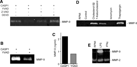 Effect of caspase inhibitors on the expression of MMP-9 in CASP1-transfected THP-1 cells. A Zymogram: Z-VAD-FMK, a cell-permeable broad-spectrum caspase inhibitor and YVAD-CHO, a CASP1 specific inhibitor, show marked inhibition of MMP-9 release from THP-1 cells. DEVD-CHO, a caspase-3 specific inhibitor, had no effect on MMP-9 expression and release. B , C . MMP-9 enzymatic activity in CASP1 expressing THP-1 cell lysate is significantly reduced by a CASP1 specific inhibitor YVAD-CHO. D Effect of ER stress on the expression of MMP-9 in THP-1 cells, as shown by oxysterols, 7-ketocholesterol, and cholesterol-5β induce MMP-9 release from THP-1 cells. SERCA inhibitor thapsigargin also induces MMP-9 expression while it remains unchanged in ionophore ionomycin-treated cells. E Cells treated with LPS release MMP-9 into the medium. IFNγ has no effect on MMP-9 expression. MMP-2 level remains unchanged in both groups