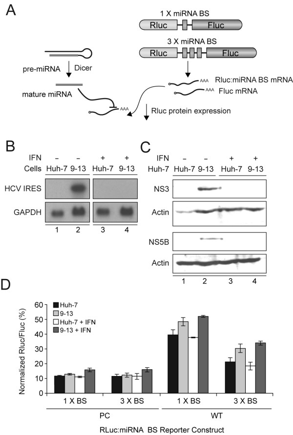 miRNA-guided RNA silencing is not perturbed in cells harboring a subgenomic HCV replicon . (A) Schematic representation of the experimental strategy and reporter gene constructs. (B) HCV RNA expression in Huh-7 or 9–13 cells harbouring a subgenomic HCV replicon, treated or not with 100 IU/ml of interferon α-2B (IFNα-2B), was documented by Northern blot using a DNA probe complementary to HCV Internal ribosome entry site (nt 1 to 341). GAPDH was used as a loading control. (C) HCV NS3 and NS5B protein expression Huh-7 or 9–13 cells, treated or not with 100 IU/ml of IFNα-2B, was documented by Western blot using anti-NS3 1B6 (first panel) and anti-NS5B 5B-3B1 (third panel) antibodies, respectively. Actin was used as a loading control (second and fourth panels). (D) Huh-7 or 9–13 cells, treated or not with 100 IU/ml of IFNα-2B, were cotransfected using Lipofectamine 2000 with a Rluc:miRNA binding site construct, in which the Rluc reporter gene is coupled with 1 or 3 copies of perfectly complementary (PC) or natural wild-type (WT) binding sites (BS) for miR-328 (250 ng DNA), and a psiSTRIKE-based, pre-miR-328 expression construct (250 ng DNA). psiSTRIKE-Neg, which encodes a shRNA directed against a sequence deleted in the Rluc reporter mRNA, was used as a control. Results of Rluc activity were normalized with Fluc activity and expressed as a percentage of Rluc activity obtained with psiSTRIKE-Neg. Results are expressed as mean ± s.e.m. (n = 3 experiments, in duplicate).