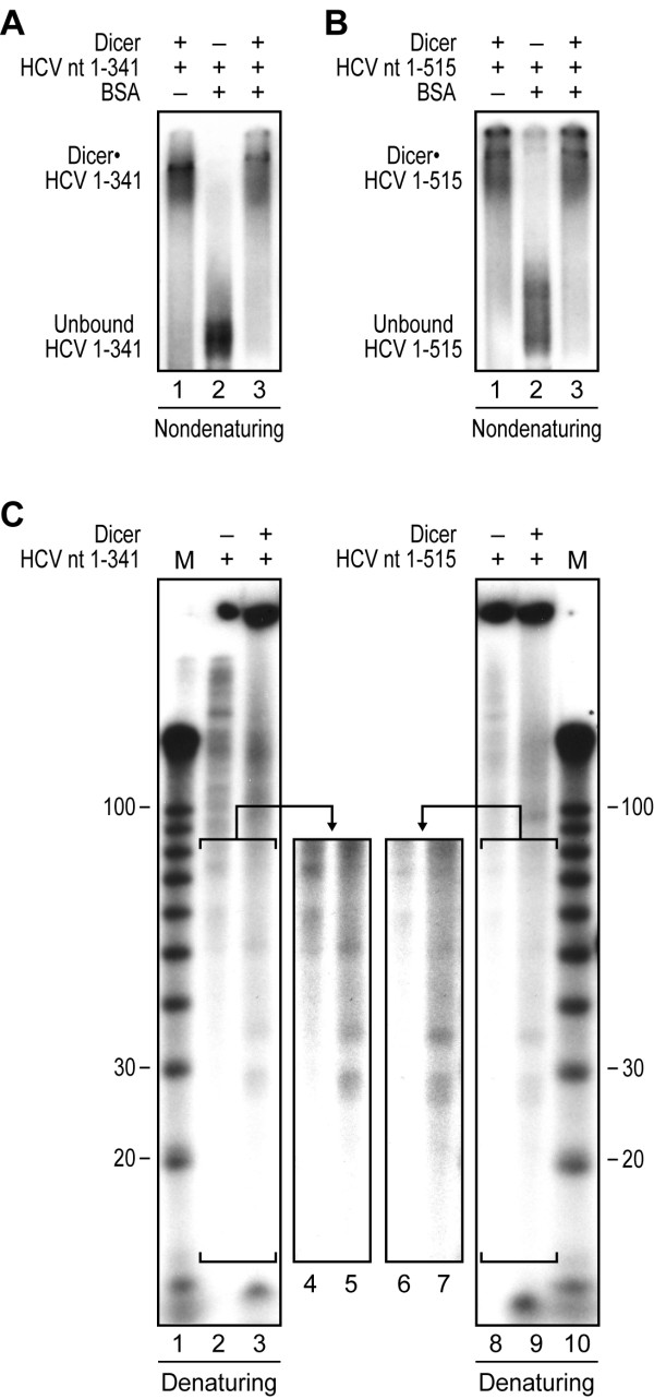Recombinant Dicer binds and cleaves HCV IRES in vitro . (A-B) Electrophoretic mobility shift assays (EMSA) 32 P-labeled HCV RNA nt 1-341 (A) or nt 1-515 (B) was incubated in the absence or presence of recombinant human Dicer (200 ng) and/or BSA (2 μg), and complex formation visualized by non-denaturing PAGE and autoradiography. (C-D) Dicer RNase activity assays. (C) 32 P-labeled HCV RNA nt 1-341 (left panel) or nt 1-515 (right panel) was incubated in the absence (-) or presence (+) of recombinant human Dicer (200 ng), and HCV RNA processing monitored by denaturing PAGE and autoradiography. Lanes 4, 5, 6 and 7 represent higher numerical exposition of lanes 2, 3, 8 and 9 respectively. M, indicates a 10-nt RNA size marker.