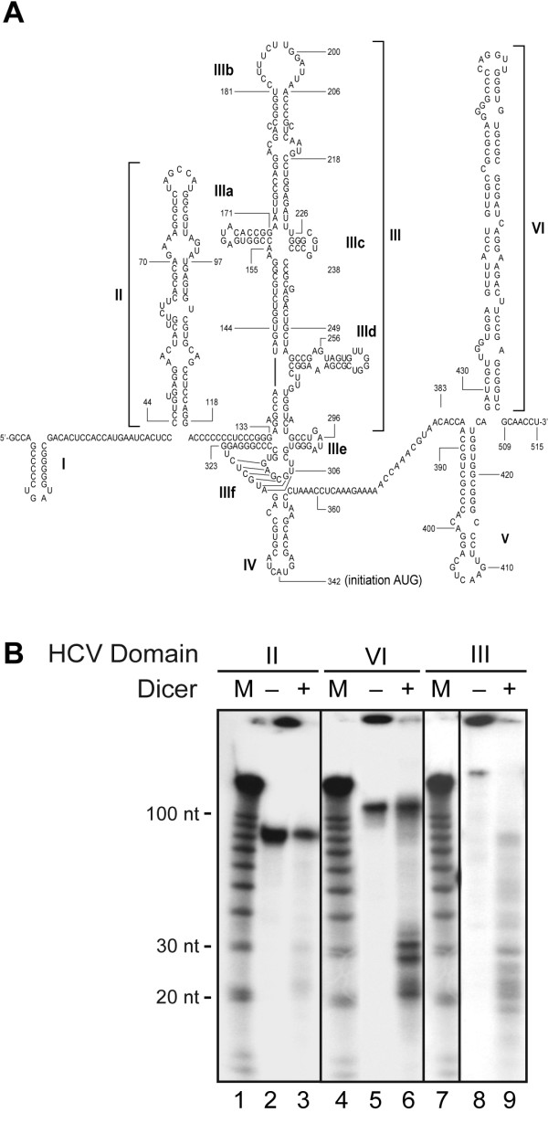 HCV domains II, III and VI are processed into ~21 to 23-nt RNA species by recombinant human Dicer in vitro . (A) Predicted secondary structure of nt 1 to 515 of the HCV RNA genome. (B) Dicer RNase activity assays. 32 P-labeled HCV RNA domain II (left panel), domain VI (center panel) or domain III (right panel) was incubated in the absence (-) or presence (+) of recombinant human Dicer (65 ng) with MgCl 2 . The samples were analyzed by denaturing PAGE and autoradiography. M, indicates a 10-nt RNA size marker.