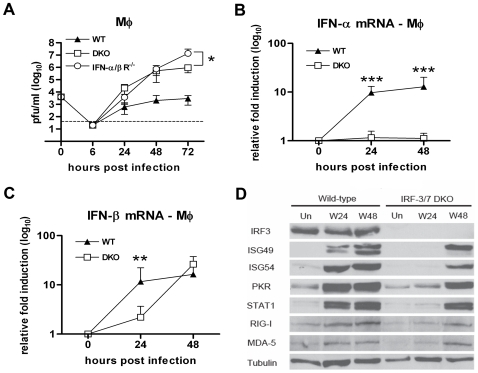 IRF-3 and IRF-7 partially modulate the IFN-β response and ISG expression in primary Mφ. A. Mφ generated from wild type, IFN-αβR −/− and DKO mice were infected at an MOI of 0.01 and virus production was evaluated at the indicated times post infection by plaque assay. Values are an average of quadruplicate samples generated from at least three independent experiments. B. Whole cell lysates were generated at the indicated times from wild type and DKO Mφ that were uninfected (Un) or infected with WNV (W). Protein levels of ISG49, ISG54, PKR, STAT1, RIG-I, MDA5 and tubulin were examined by immunoblot analysis. C and D. The induction of (C) IFN-α and (D) IFN-β mRNA in WNV-infected Mφ was analyzed by qRT-PCR as described in Figure 3 . Asterisks indicate values that are statistically significant (***, P