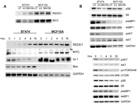 TAIII and BN108 induce similar changes in gene expression and inhibit major proliferative signal transduction pathways selectively in cancer cells. A. Both BN108 and TAIII induce expression of REDD1 and inhibit MYC in BT474 but not in MCF10A cells. Top panels, cell extracts were prepared fro untreated cells and cells treated with BN108 (0.5 mg/ml) and TAIII (2.5 µM in BT474 and 7.5 µM for MCF10A) for 4 hours. Bottom panels, time course of expression of the indicated proteins in BT474 and MCF10A cells treated with TAIII. B. Top, both BN108 and TAIII inhibit phosphorylation of mTORC1 targets s6 ribosomal protein and 4eBP1 as well as AKT kinase selectively in cancer cells. Bottom, time course of inhibition of activating posphorylations of AKT and mTOR, as well as inhibition of phosphorylation of mTORC1 targets s6 and 4eBP1by TAIII in BT474 cells.