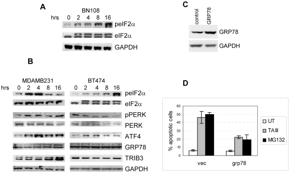 TAIII induces ER stress and protective autophagy. A. Treatment with BN108 induce phosphorylation of translation initiation factor eIF2α. Cell extracts were prepared from BT474 cells treated with BN108 (0.5 mg/ml) for times indicated and subjected to gel electrophoresis and blotting with antibodies against phosphorylated form of eIF2α (Ser51) or total eIF2α protein. B. Western blot analysis of the expression of some markers of ER stress in MDAMB231 and BT474 cells. Cells were treated with TAIII for the indicated times and after electrophoresis extract were immunobloted with indicated antibodies. C. Western blot analysis of MDAMB231 cells transfected with control or GRP78 expressing vector. D. Expression of exogenous GRP78 in MDAMB231 cells offers partial protection against apoptosis induced by TAIII (5 µM) or MG132 (0.25 µM).