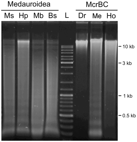 Differential restriction analysis of Medauroidea extradentata . Equivalent amounts of genomic DNA were digested and analyzed using MspI (Ms), HpaII (Hp), MboI (Mb), Bsp143I (Bs) and McrBC. For comparison, equivalent genomic digestions using McrBC and DNA from Drosophila melanogaster (Dr), Medauroidea extradentata (Me) and Homo sapiens (Ho) are shown. The track labelled L contains GeneRuler® Ladder Mix (Fermentas).