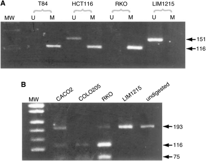 Analysis of methylation of p16 and MINT loci in colorectal cell lines. ( A ) For p16 promoter analysis, bisulphite-modified cell line DNA was amplified in separate reactions using primers specific for unmethylated (U) or methylated (M) template (methylation-specific PCR - MSP). Examples of methylated cell lines are T84 and RKO; these show amplification in the methylated reaction only. Presence of PCR product in both unmethylated and methylated reactions of HCT116 is indicative of partial methylation at p16 . LIM1215 is shown as an example of a cell line unmethylated at p16 . ( B ) For analysis of methylation at MINT loci, bisulphite-modified DNA was first PCR amplified using appropriate loci-specific primers, and then the PCR products were digested with restriction enzymes that only cut amplicons generated from the methylated template. MINT2 is shown as a representative MINT locus. Resistance to digestion indicates an unmethylated template. Shown are cell lines with partial methylation at MINT 2, CACO2 and RKO, a fully methylated cell line, COLO205, and an unmethylated cell line LIM1215. Undigested amplicons are shown in the last lane. Molecular weight (MW) marker in A and B is pUC19/ Msp I.