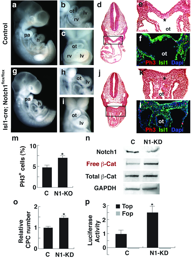 Notch1 loss-of-function causes CPC expansion and increases free β-Catenin levels. a–f, Control embryos. g–l, Isl1 Cre , Notch1 flox/flox embryos (N1-KO). a , g , Lateral views of ED10.5 embryos. b, c, h, i, Lateral ( b , h ) or frontal ( c , i ) view of embryos focused on cardiac regions showing absence of right ventricle (rv) in mutants. d , e , j , k , Transverse sections (H E) of embryos ( d, j ) with enlargement of boxed areas ( e, k ) showing hyperplasia of precardiac progenitors (asterisk). f , l, Phosphohistone3 (Ph3, red) and Isl1 (green) immunostaining of transverse sections through the precardiac region. To compensate for the severe downregulation of Isl1 in Notch1 mutant embryos, Isl1 signals were amplified with the TSA system. DAPI (blue) was used to counterstain the nuclei. m , Percentage of ph3-positive cells in precardiac mesoderm region shown in e and k (mean ± s. d.; n =4; * P