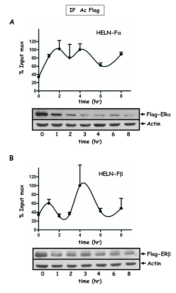 Recruitment of ERα/β to the promoter of the luciferase transgene in HELN-Fα/β cells . Kinetic ChIP experiments were performed using the anti-FLAG antibody. HELN-Fα ( A ) or HELN-Fβ ( B ) cells were cultured in 3% dextran-charcoal treated FCS. Twenty four hours before experiment, they were deprived of serum and subsequently treated for 2 hr with 2.5 μM α-amanitin, and then with 10 nM E2. Cells were cross-linked at indicated times. Soluble chromatin was prepared on sampled cells at indicated times as described in material and methods. Real time PCR quantification of either IP chromatin or input was performed at each incubation time. Amplified signals from IP chromatin were calculated as the percentage of amplified input signals obtained during the same amplification. Corresponding values plotted for one curve were expressed as the percentage of the maximum value of % input (% input max) obtained for that curve and for one IP. One ChIP kinetic curve shown is representative of at least two independent experiments and values are mean ± SD of two independent immunoprecipitation assays using the same preparation of chromatin. The % input max average value (corresponding to the two IPs) of one curve may fluctuate among different independent experiments corresponding to the same kinetic. The corresponding amplitudes of variation are: in A (HELN-Fα) Imin = 2.1, Imax = 4.3; in B (HELNβ) Imin = 1.4 Imax = 3.5. Flag-ERα (A) or Flag-ERβ (B) protein levels were analyzed by Western blot experiments. Cell treatments for ChiP assays and Western blot experiments were identical. Extracts were prepared at indicated times, and Western blotted with antibodies for FLAG (F3165) or actin.