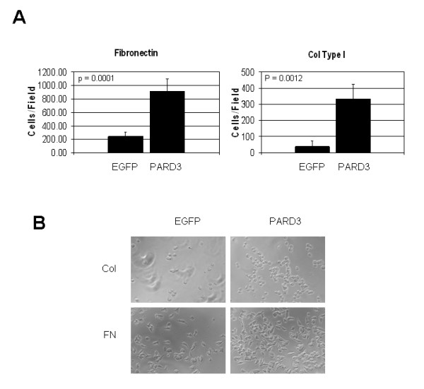 Ectopic expression of Par3 protein enhances adhesiveness of the LNCaP cells . (A). 2 × 10 4 of LNCaP cells stably expressing Par3 protein or transfected with empty vector (EGFP) were seeded over fibronectin or collagen Type I pre-coated wells of a 96-well plate and incubated at 37°C for three hours, as described in the