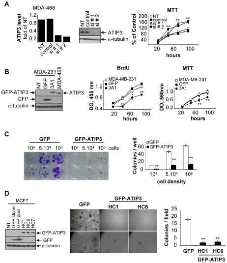 ATIP3 inhibits cancer cell proliferation. A. ATIP3 silencing in MDA-MB-468 cells transfected with control siRNA or specific ATIP3 siRNA#1 or siRNA#2 for 72 hours. Left panel : real-time RT-PCR using ATIP3-specific primers relative to EEF1G, normalized to non transfected cells (NT). Middle panel : immunoblotting with anti-MTUS1 antibodies showing ATIP3 at 170 kDa, and reprobing with anti-alpha-tubulin antibodies for internal control. Right panel : MTT assay. Results are expressed as percent of MTT incorporation in control siRNA-transfected cells at time 96 hours. Shown are the results of two representative experiments out of four performed in quadruplicate. **p