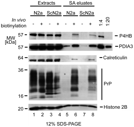Evidence for cell surface localization of a subset of PDIs and calreticulin in mouse neuroblastoma cells. N2a and ScN2a cells were subjected to cell surface biotinylation or mock treatment. Subsequently, cellular extracts were side-by-side affinity purified on a streptavidin agarose matrix. Extracts and streptavidin agarose eluate fractions were analyzed by Western blotting and membranes probed with antibodies directed against histone 2B, PrP, P4hb, Pdia3 and calreticulin. The relative strength of P4hb-, Pdia3- and calreticulin-specific signals present in eluate fractions from biotinylated (lanes 6 and 8) versus non-biotinylated samples (lanes 5 and 7) is consistent with the conclusion that a subset of these proteins resided at the cell surface during the biotinylation step. The relative intensity of P4hb- and Pdia3-derived signals in extract (40 µg total protein loaded per lane) and eluate fractions can be estimated from the concomitant analysis of 1/4 and 1/20 of the extract fraction shown in lane 1. Thus, P4hb and Pdia3 signals in the eluate fraction (captured from 2 mg total extract) were equivalent to or exceeded the amount of these proteins present in 2 µg of extract. Please note the presence of histone 2B in all eluate fractions (lanes 5–8), in support of the conclusion that the protein binds unspecifically to the affinity matrix.
