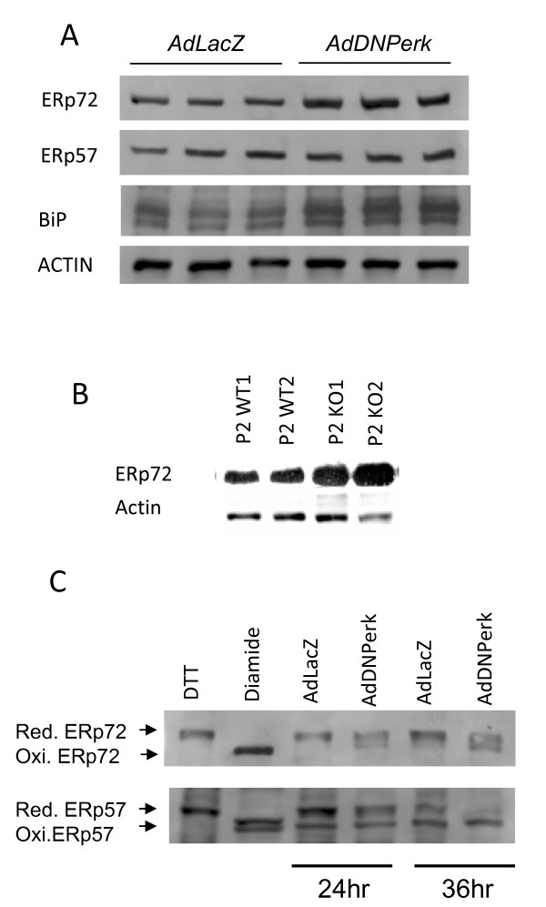 ERp72 and <t>GRP78/BiP</t> protein are elevated and ERp72 oxidized state is increased in AdDNPerk 832/13 beta cells . A. Triplicate samples were probed with antibodies to ERp72, ERp57, BiP and actin, which served as the loading control. B. ERp72 expression was increased in islets from P2 Perk KO mice. Samples are from duplicate mice for each genotype. C. At 24 hr or 36 hr post-transduction, protein samples were isolated and treated with AMS to differentiate the reduced and oxidized forms of ERp72 and ERp57 on PAGE gels. Western blots showed increased oxidized isoforms of both ERp72 and ERp57 in 832/13 cells infected with AdDNPerk compared to cells infected with AdLacZ .