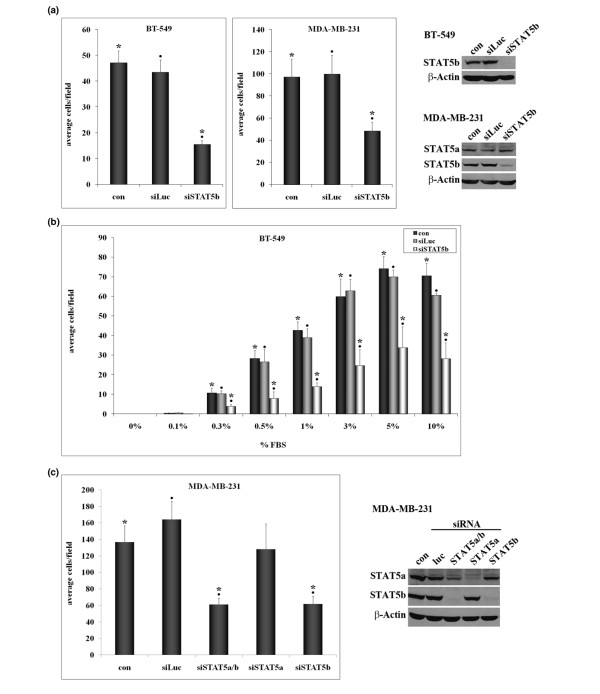 STAT5b knockdown inhibits breast cancer cell migration. (a) BT-549 or MDA-MB-231 breast cancer cells were transfected with no siRNA (con), control siRNA for luciferase (siLuc), siSTAT5b SMARTpool (BT-549 cells), or siSTAT5b SMARTpool duplex #3 (MDA-MB-231 cells). Seventy-two hours after transfection, cells were plated in serum-free media in trans-well chambers. Media containing 1% fetal bovine serum (FBS; BT-549) or 10% FBS (MDA-MB-231) were placed in the lower chambers. After 3 hours (BT-549) or 6 hours (MDA-MB-231), cells were fixed, stained with crystal violet, and the number of migratory cells was counted. Results are graphed as the average number of migratory cells per field ± SEM. One-way ANOVA with Tukey's post-test was used to determine statistical significance ( P