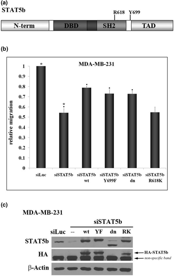 Expression of wild-type, Y699F-, or dominant-negative STAT5b rescues migration, but expression of R618K-STAT5b does not. (a) Domain structure of the STAT5b protein depicting the amino terminus (N-term), DNA-binding domain (DBD), Src homology 2 domain (SH2), transactivation domain (TAD), and the location of the conserved tyrosine residue, Y699, and arginine residue, R618. (b) MDA-MB-231 breast cancer cells were transfected with control <t>siRNA</t> to luciferase (siLuc) or siRNA specific to STAT5b (siSTAT5b <t>siGENOME</t> <t>SMARTpool</t> oligonucleotide #3) alone or in the presence of HA-tagged wild-type (wt-STAT5b), Y699F (YF-STAT5b), dominant-negative (dn-STAT5b), or R618K (RK-STAT5b) STAT5b constructs engineered to be immune to siRNA knockdown. Seventy-two hours after transfection, trans-well assays were performed for 6 hours, as described in Figure 1. Results are graphed as relative migration, compared with siLuc control. One-way ANOVA with Tukey's post-test was used to determine statistical significance ( p