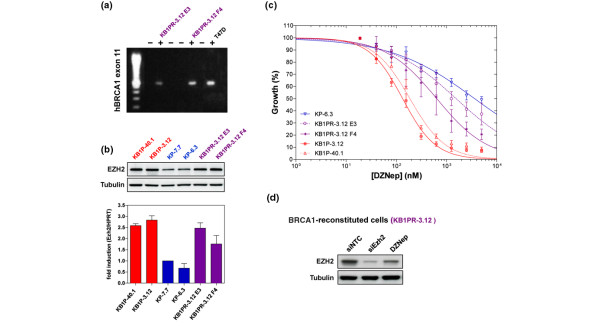 Restoration of BRCA1 partially rescues from sensitivity to DZNep. (a) Detection of the human BRCA1 allele by PCR amplification of exon 11 in the reconstituted subclones KB1PR-3.12 E3 and F4. The human breast cancer cell line T47D was used as a positive control. (b) EZH2 protein levels of (untreated) K K 14cre; B rca 1 F / F ; p 53 F / F (KB1P), KB1PR and K 14cre;Brca1 w . t / w . t ; p 53 F / F (KP) cell lines were analysed by western blotting. Corresponding Ezh2 mRNA levels of KB1P, KB1PR and KP cell lines were measured by quantitative RT-PCR (shown as fold induction relative to Hprt ). (c) Representative growth inhibition curves for BRCA1-deficient cell lines (KB1P, in blue), BRCA1-proficient cell lines (KP, in red) and two clones of a BRCA1 -reconstituted cell line (KB1PR E3 and F4, in purple) treated with 3-deazaneplanocin A (DZNep). A serial dilution of DZNep was added to the cells and cell viability was measured five days later (mean ± standard error of the mean). (d) EZH2 protein levels of hBRCA1 -reconstituted KB1P cells 48 hours after treatment with DZNep or siRNAs targeting EZH2.
