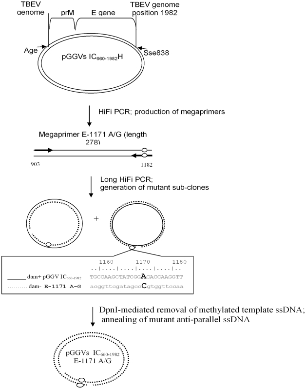 Mutagenesis of the infectious clone of TBEV. The plasmid pGGVs 660–1982 H [29] that contains the partial PrM-E gene fragment between nucleotides 660–1882 of the Vs virus genome was used as a template in PCR to synthesize megaprimers E-1171 A/G (genome positions and lengths are specified). Primers used to produce megaprimers, with targeted mutations (circles) are represented by thick arrows. Subsequently the megaprimer without the other pair of primers was used to amplify plasmid pGGVs 660–1982 H (solid circular line). The produced linear newly-synthesized complementary ssDNA molecules (nicked circular dotted line) with acquired mutations were annealed during the last step of PCR, randomly producing twice-nic ked circular DNA. Parent Dam+ methylated DNA of the pGGVs 660–1982 H was removed by DpnI endonuclease digestion to facilitate clone selection.