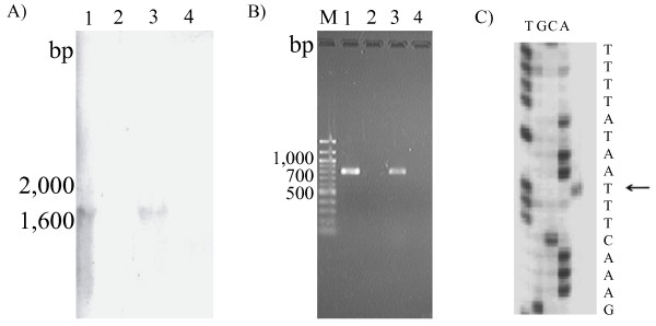 Northern blot hybridization (A) and RT-PCR (B) analyses of the cadF (-like) and Cla_0387 structural gene transcripts expressed in the C. lari isolates . Lane M, 100 bp DNA ladder; Lane 1, C. lari JCM2530 T with the reverse transcriptase (RTase); lane 2, C. lari JCM2530 T without the RTase.; lane 3, UPTC CF89-12 with the RTase; lane 4, UPTC CF89-12 without the RTase. Primer extension analysis (C) of the cadF (-like) and Cla_0387 mRNA transcript in the C. lari JCM2530 T isolate cells. The arrow indicates the transcription initiation site.