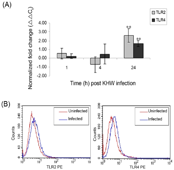 Expression of TLR2 and TLR4 in LA-4 murine lung epithelial cells following B. pseudomallei infection using (A) qRT-PCR and (B) flow cytometry. LA-4 cells were infected with KHW for 2 h and control cells were treated with F12K medium. The expression of TLR2 (▪) and TLR4 (▪) genes at 1 h, 4 h and 24 h post infection was quantified by qRT-PCR. Results are normalized to both β-actin and uninfected control cells, and were expressed as normalized fold change (ΔΔC t ) ± standard deviation of experimental triplicates. ** P