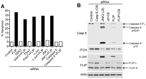 c-FLIP is an essential mediator of basal apoptosis in human cancer cells and functions downstream of GSK3, Fbw7, c-Jun and JNK1. (A) Levels of apoptosis observed following co-silencing of c-FLIP with pro-apoptotic mediators. (B) Protein levels showing pro-caspase 8 cleavage and c-Jun accumulation following c-FLIP depletion by RNAi.