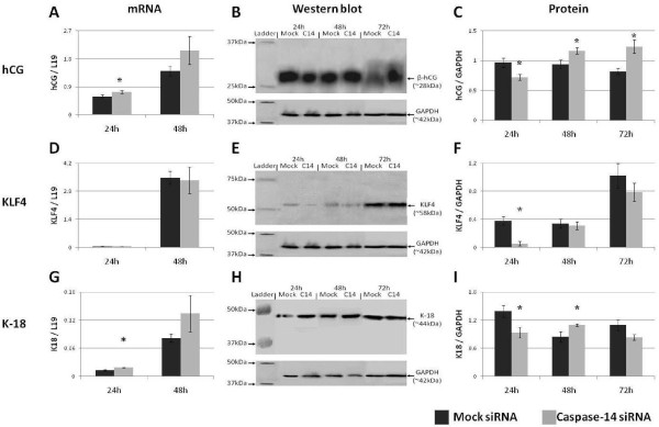 Caspase-14 modulates trophoblast gene expression during differentiation . The effect of caspase-14 siRNA on the expression of (A-C) hCG, (D-F) KLF4, and (G-I) cytokeratin-18 in Forskolin-treated BeWo cells. * = P