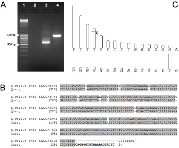 Identification of the Tol2 construct genomic insertion sites on the T2EC clone #1 . A : Splinkerette PCR products on 1.5% agar gel. 1: <t>Fermentas</t> <t>DNA</t> Ladder Mix; 2: genomic DNA from non-transfected T2EC; 3: pT2.CMV-hKO plasmid; 4: genomic DNA from T2EC clone #1, cotransfected with the pT2.CMV-hKO plasmid and the transposase plasmid, pCAGGS-T2TP (molecular ratio: 5/1). B : Alignment of the splinkerette PCR product with the Gallus gallus genome. The sequence corresponding to the Tol2 construct is shown in bold . C : Localization of the Tol2 construct insertion site into chromosome 4 of the Gallus gallus genome.
