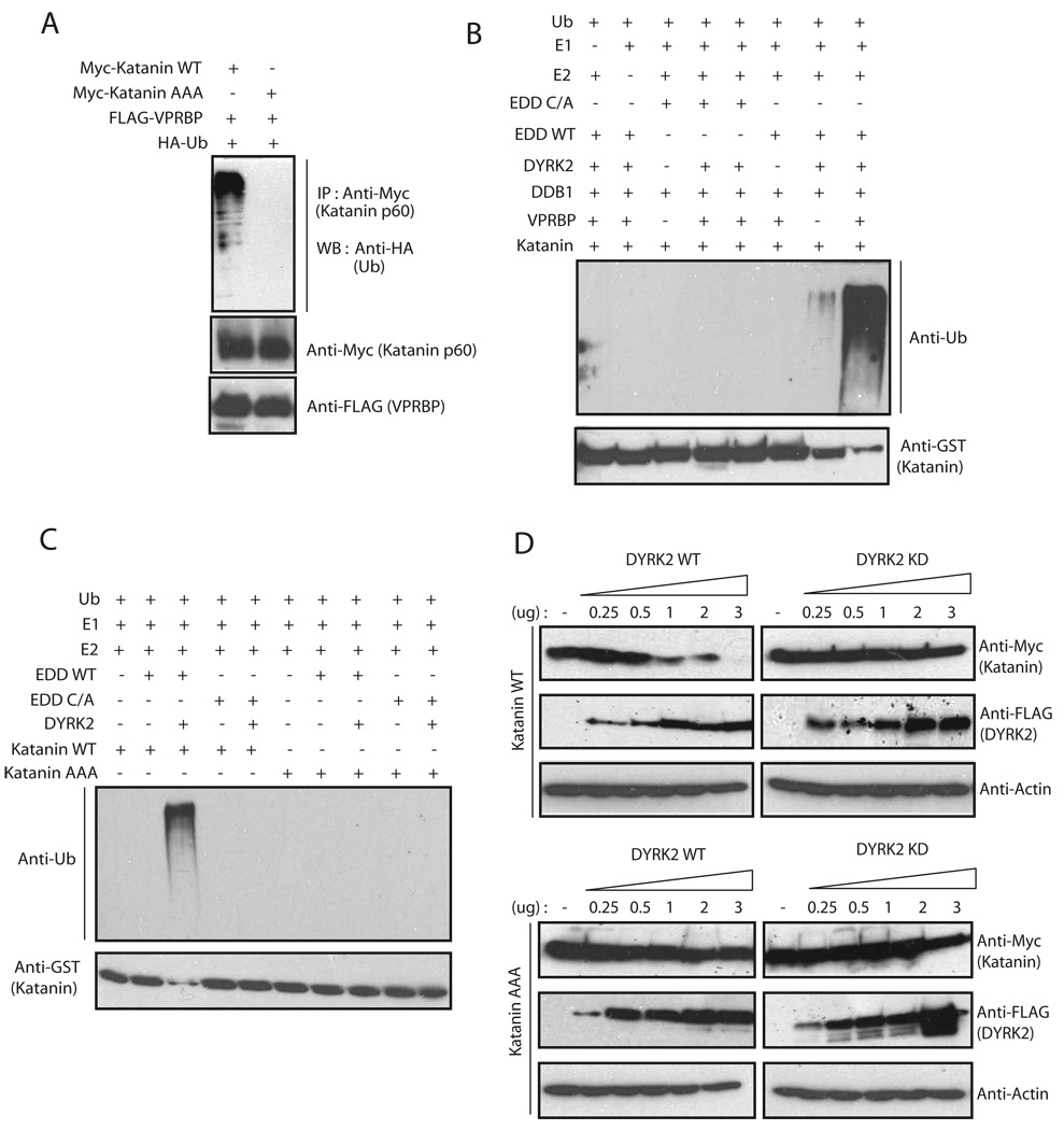 DYRK2 kinase activity is required for the regulation of Katanin degradation (a) Myc-tagged wild-type or phosphomutant of Katanin was expressed in HeLa cells along with FLAG-VPRBP and HA-Ub. The levels of Katanin ubiquitination were evaluated by anti-HA immunoblotting following immunoprecipitation of Katanin from the cell extracts. (b) In vitro reconstitution experiments were performed using GST-Katanin as a substrate in the presence of recombinant ubiquitin, E1 (UBE1), E2 (UbcH5), MBP-tagged EDD, EDD C/A, DDB1, VPRBP and DYRK2 with various combinations as indicated. Ubiquitinated species of Katanin and GST-Katanin were detected by immunoblotting with anti-ubiquitin and anti-GST antibodies respectively. (c) In vitro reconstitution experiments were performed similar to figure 6B , using either wild type (WT) GST-Katanin or Katanin-AAA mutant as a substrate in the presence of various recombinant proteins as indicated. Ubiquitinated species of Katanin and GST-Katanin were detected by immunoblotting with anti-ubiquitin and anti-GST antibodies respectively. (d) The effect of DYRK2 kinase activity and Katanin phosphorylation on the regulation of Katanin protein levels was assessed by transient transfection experiments. 293T cells were transfected with the indicated expression vectors for DYRK2 and Katanin, and the protein levels were estimated by immunoblotting 24 hours post-transfection.