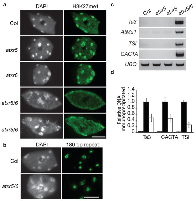 atxr5 atxr6 mutations lead to disruption of constitutive heterochromatin, reduced H3K27 monomethylation, and reactivation of silenced elements. (a) Leaf interphase nuclei were stained with DAPI and analyzed for immunofluorescence with an anti-H3K27me1 antibody. Approximately 65% of atxr5 atxr6 nuclei show severe (a, upper panel) or moderate (a, lower panel) chromocenter decondensation and reduced H3K27me1 staining. Scale bar = 5 μm. ( b) FISH analysis of leaf interphase nuclei using a 180-bp centromeric repeat probe. The DNA was counterstained with DAPI. Scale bar = 5 μm. ( c ) Semi-quantitative RT-PCR analysis of heterochromatic elements in Col, atxr5 , atxr6, and atxr5 atxr6. UBQ was used as a constitutively expressed control. ( d ) ChIP analysis of repetitive elements using H3K27me1 antibodies. Black and white bars indicate relative levels of immunoprecipitated DNA normalized to ACTIN , as determined by real-time PCR, from wild type and atxr5 atxr6 leaves, respectively. Grey bars represent no antibody controls. The data are presented as mean ± SEM for three individual experiments.